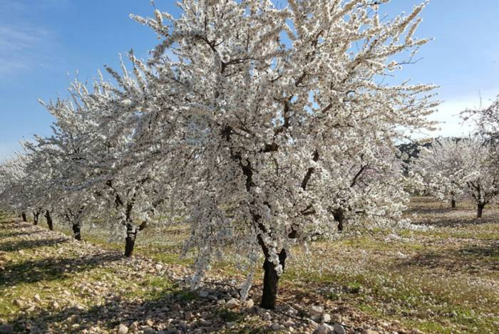 csm_HOC_INS_2_17_CI-Almond_tree_com_3f7ae213e2