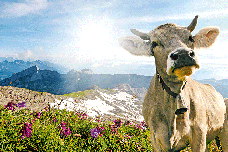 HocIns_No_9_Dairy-Ingredients-Cow