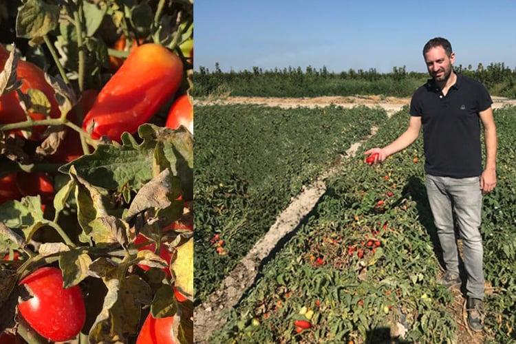 Tomaten Feld eines Produzenten, der für HOCHDORF produziert