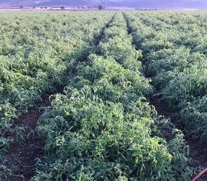 Eines der Felder in Apulien, wo die getrockneten Tomaten von HOCHDORF wachsen